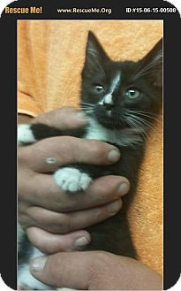Domestic Shorthair Kitten for adoption in Waldorf, Maryland - Stark
