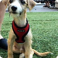Adopt A Pet :: Lancelot - New York, NY