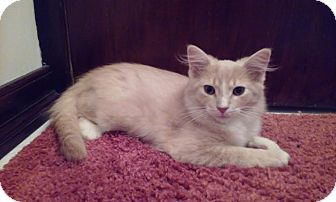 Domestic Shorthair Kitten for adoption in Hazel Park, Michigan - Oliver