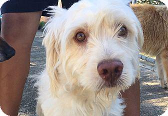 Wheaten Terrier/Schnauzer (Miniature) Mix Dog for adoption in Pennigton, New Jersey - Brandon