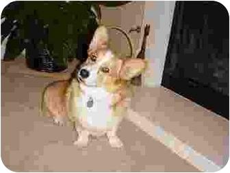Pembroke Welsh Corgi Dog for adoption in Lomita, California - Chester