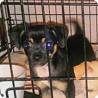 Adopt A Pet :: Captain - House Springs, MO