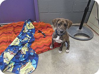 Plott Hound/Labrador Retriever Mix Puppy for adoption in BLACKWELL, Oklahoma - TERRA