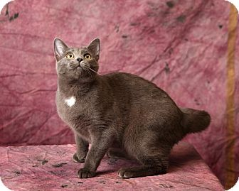Domestic Shorthair Cat for adoption in Harrisonburg, Virginia - Azul