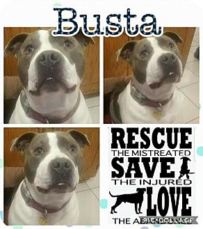Pit Bull Terrier Mix Dog for adoption in Plainfield, Illinois - Busta