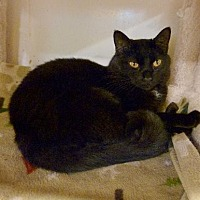 Domestic Shorthair Cat for adoption in Westville, Indiana - Azurbajan