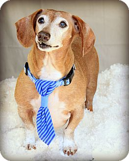 Dachshund Dog for adoption in Omaha, Nebraska - Oscar-Pending Adoption