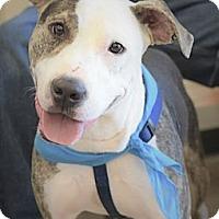 Adopt A Pet :: Ashton - Allentown, PA