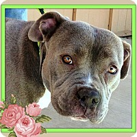 American Pit Bull Terrier Dog for adoption in West Los Angeles, California - Milly