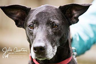 Labrador Retriever/Terrier (Unknown Type, Medium) Mix Dog for adoption in North Bend, Washington - Lucy