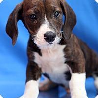 Adopt A Pet :: Kog'maw - Waldorf, MD