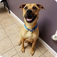 Adopt A Pet :: Ainsley $125 - Seneca, SC