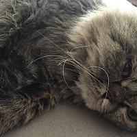 Adopt A Pet :: Rickie - Cranford/Rartian, NJ