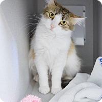Adopt A Pet :: Shelby - Shoreline, WA