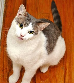 Domestic Shorthair Cat for adoption in Brooklyn, New York - Milaine the Shy Sweetheart