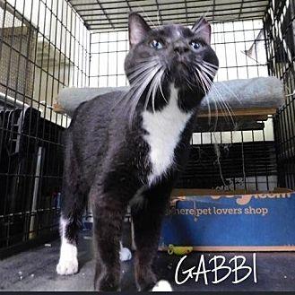 Domestic Shorthair Cat for adoption in Great Neck, New York - Gabbi