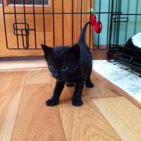 Domestic Shorthair/Domestic Shorthair Mix Cat for adoption in Wantagh, New York - Darth Vader
