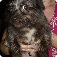 Adopt A Pet :: Cola - Glastonbury, CT