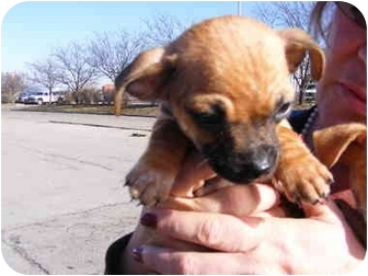 Chihuahua/Yorkie, Yorkshire Terrier Mix Puppy for adoption in Rochester, New Hampshire - Shorty