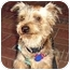 Photo 3 - Yorkie, Yorkshire Terrier Mix Puppy for adoption in Homestead, Florida - Chancy