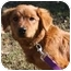 Photo 3 - Golden Retriever Mix Dog for adoption in Harrisonburg, Virginia - Samson