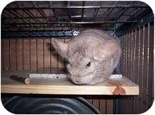 Chinchilla for adoption in Avondale, Louisiana - Yoda
