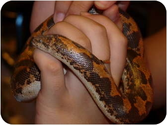 Snake for adoption in Richmond, British Columbia - Zhaneel