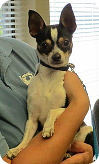 Chihuahua Mix Dog for adoption in AUSTIN, Texas - BUGSY