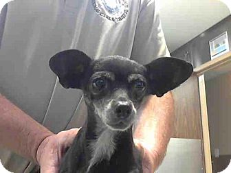 Chihuahua Mix Dog for adoption in San Diego, California - Nellie URGENT
