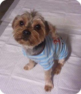 Yorkie, Yorkshire Terrier Dog for adoption in Encinitas, California - JoJo