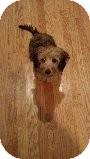 Yorkie, Yorkshire Terrier/Dachshund Mix Puppy for adoption in Russellville, Kentucky - Benji