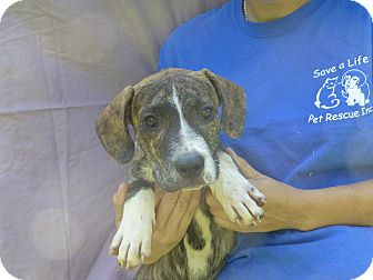 Boxer Mix Puppy for adoption in Oviedo, Florida - King