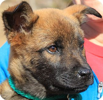 German Shepherd Dog Mix Puppy for adoption in Chicago, Illinois - Ginger