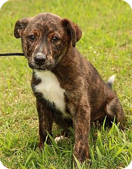 Boxer/Border Collie Mix Puppy for adoption in Portland, Maine - Happy (EC)
