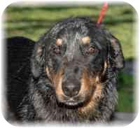 Australian Shepherd/Shepherd (Unknown Type) Mix Dog for adoption in Sacramento, California - Monte