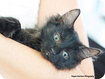 Domestic Mediumhair Kitten for adoption in Homewood, Alabama - Tinkerbell
