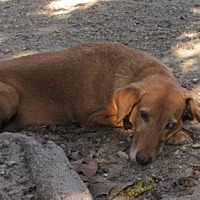 Adopt A Pet :: S860 Cody - Bay Springs, MS