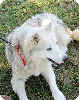 Husky/Alaskan Malamute Mix Dog for adoption in Olney, Illinois - Tundra