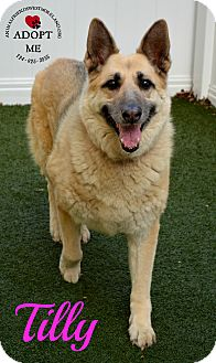 German Shepherd Dog Mix Dog for adoption in Youngwood, Pennsylvania - Tilly