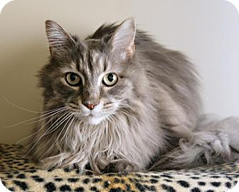 Maine Coon Cat for adoption in Bellingham, Washington - Claire