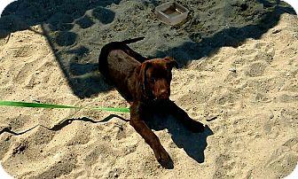 Labrador Retriever/Golden Retriever Mix Puppy for adoption in Smithtown, New York - Beau