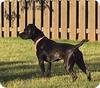 Labrador Retriever/American Bulldog Mix Dog for adoption in Huntsville, Alabama - Lyric