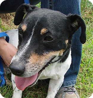 Jack Russell Terrier Mix Dog for adoption in Erwin, Tennessee - Dewey