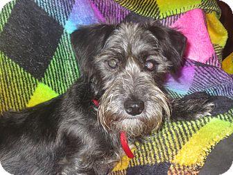 Schnauzer (Miniature) Mix Dog for adoption in Monroe, North Carolina - Chula