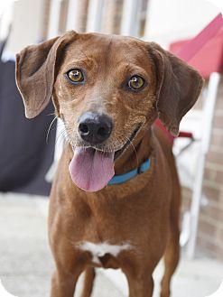Hound (Unknown Type)/Vizsla Mix Dog for adoption in Homewood, Alabama - Rita