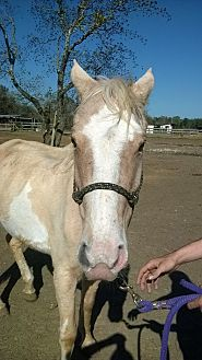 Quarterhorse Mix for adoption in Hitchcock, Texas - Sherry