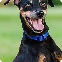 Adopt A Pet :: Remi- DRD Program - Owensboro, KY