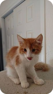 Domestic Longhair Kitten for adoption in El Paso, Texas - Lazy