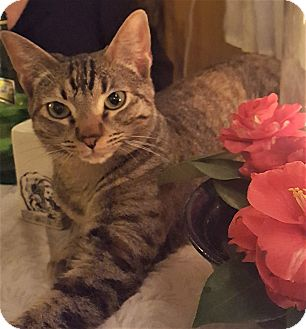 American Shorthair Cat for adoption in Studio City, California - Vera – tabby talks a lot!