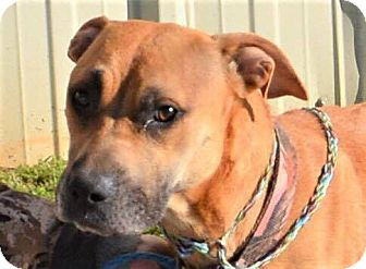 Black Mouth Cur Mix Dog for adoption in Allentown, New Jersey - Lizzie